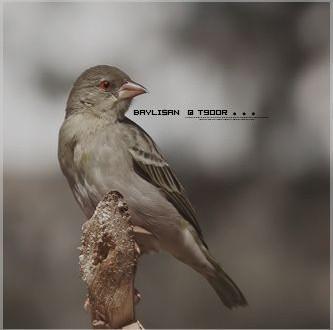 خلفيات طيور بلاك بيري 2013