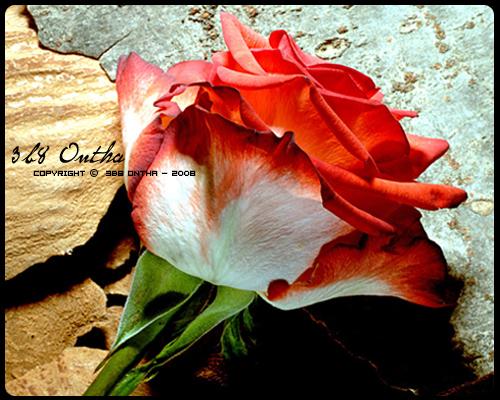 اجمل صور ورد رومانسية فيها كلام في الحب  2013 - صور ورد مكتوب عليها عبارات YI4FZ.jpg