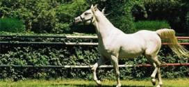عاشق للخيل فى بريطانيا يطلب لقاء حصانه قبل الوفاة