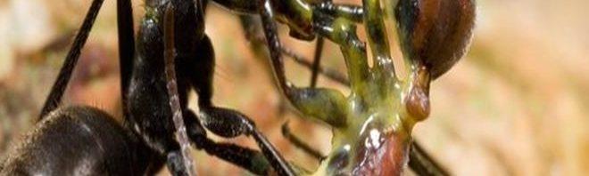 معلومات غريبة عن النمل الإنتحاري