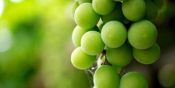 اهمية العنب الأخضر