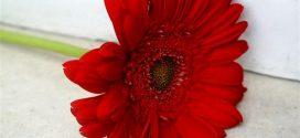 صور ورد احمر رائع